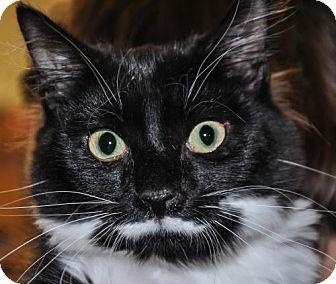 Domestic Shorthair Kitten for adoption in Alexandria, Virginia - Bennet (bonded with Bingley)