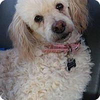 Poodle (Miniature) Mix Dog for adoption in Alta Loma, California - Phyllis