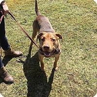 Adopt A Pet :: Clifford~meet me! - Glastonbury, CT