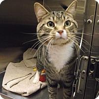 Domestic Shorthair Cat for adoption in Chambersburg, Pennsylvania - Jim Bob