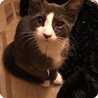 Adopt A Pet :: Cosmo - Jackson, NJ