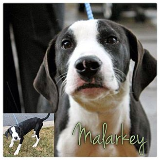 English Pointer Mix Puppy for adoption in Garden City, Michigan - Malarkey