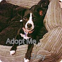 Adopt A Pet :: Joey - Burbank, CA