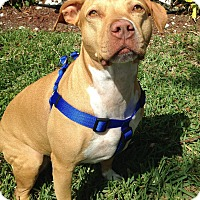 Adopt A Pet :: Penny - Hollywood, FL