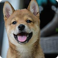Adopt A Pet :: Momo - Manassas, VA