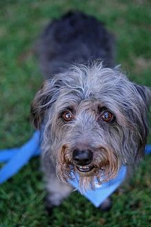 Dachshund/Standard Schnauzer Mix Dog for adoption in Santa Monica, California - Mozart