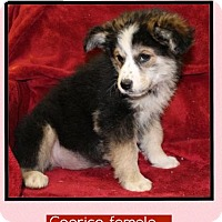 Adopt A Pet :: Caprice (Pom-Erin) - Hagerstown, MD