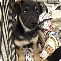 Adopt A Pet :: Sweetie Shepherd girl - Pompton lakes, NJ