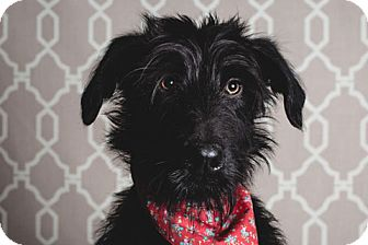 Labradoodle Mix Dog for adoption in Chicago, Illinois - Plymouth