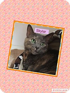 Calico Cat for adoption in Goshen, New York - Skylar