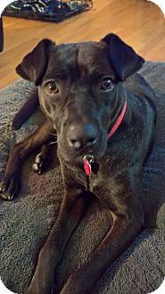 Labrador Retriever/Pug Mix Dog for adoption in Seattle, Washington - Betty Heart