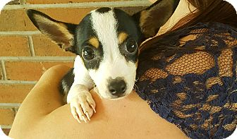 Rat Terrier/Chihuahua Mix Puppy for adoption in Lancaster, Pennsylvania - Pete Adoption Pending