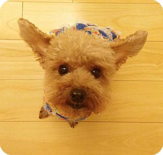 Toy Poodle Dog for adoption in Vancouver, British Columbia - Yang Yang