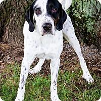 Hound (Unknown Type)/Labrador Retriever Mix Dog for adoption in Enfield, Connecticut - Waldo