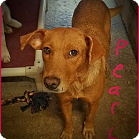 Adopt A Pet :: Pearl - Lawrenceburg, TN