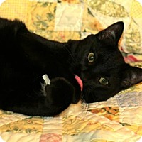 Domestic Shorthair Cat for adoption in Dallas, Texas - Kirby