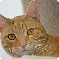 Domestic Shorthair Cat for adoption in Philadelphia, Pennsylvania - Rangey