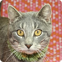 Domestic Shorthair Cat for adoption in Jackson, Michigan - Greybo