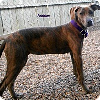 Doberman Pinscher/American Pit Bull Terrier Mix Puppy for adoption in Oskaloosa, Iowa - Pebbles