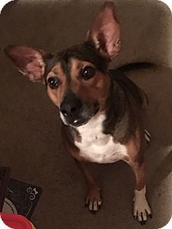 Basenji/Australian Cattle Dog Mix Dog for adoption in Kansas City, Missouri - Ringo