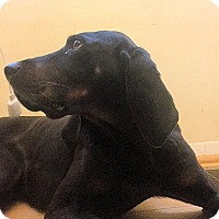 Black and Tan Coonhound Dog for adoption in New York, New York - Daffy