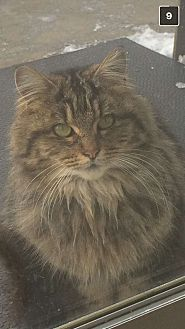 Domestic Mediumhair Cat for adoption in Montreal, Quebec - Kris