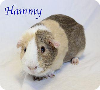 Guinea Pig for adoption in Bradenton, Florida - Hammy