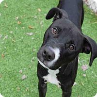 Adopt A Pet :: PHOENIX - Atlanta, GA