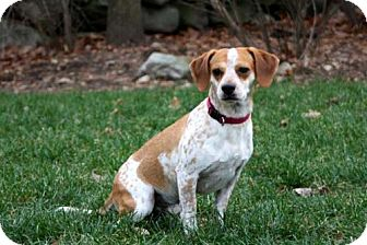 Beagle Mix Dog for adoption in Andover, Connecticut - WINSTON