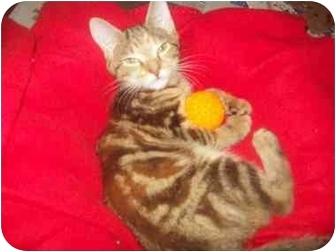 Domestic Shorthair Kitten for adoption in Little Neck, New York - kayla