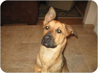German Shepherd Dog/Great Dane Mix Dog for adoption in Brighton