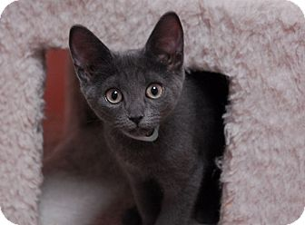 Domestic Shorthair Kitten for adoption in Lunenburg, Massachusetts - Fancy #3