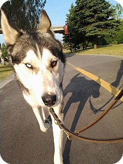 Husky Dog for adoption in Montreal, Quebec - Zibo