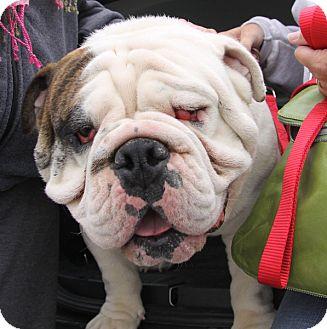 English Bulldog Dog for adoption in Chicago, Illinois - Bates