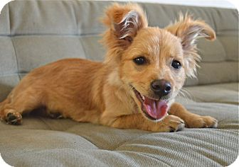 Pomeranian/Dachshund Mix Puppy for adoption in Los Angeles, California - Benny