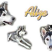 Adopt A Pet :: Alize - Seminole, FL