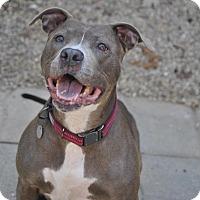 Adopt A Pet :: Misty Malibu Blue - Vernon Hills, IL
