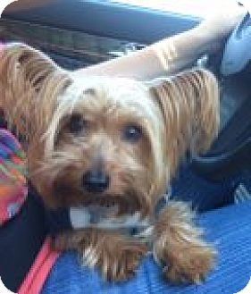 Las vegas nv yorkie yorkshire terrier meet simon a for Dog rescue las vegas nv