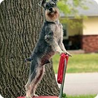 Adopt A Pet :: Percy - Springfield, MO