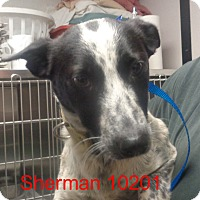 Adopt A Pet :: Sherman - baltimore, MD