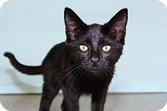 Domestic Shorthair Kitten for adoption in Larned, Kansas - Midnight