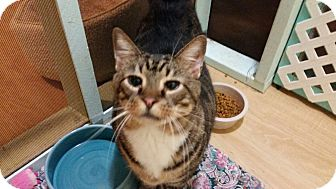 Domestic Shorthair Cat for adoption in Maryville, Tennessee - Noah