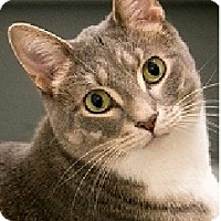 Adopt A Pet :: Dusty-FOR YOUR HIGH-ENERGY CAT - Naperville, IL