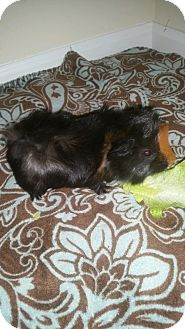 Guinea Pig for adoption in Aurora, Illinois - Chip