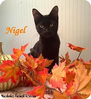 Domestic Shorthair Kitten for adoption in Huntsville, Ontario - Nigel - Purr Machine!