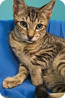 Domestic Shorthair Kitten for adoption in New Orleans, Louisiana - Bullwinkle