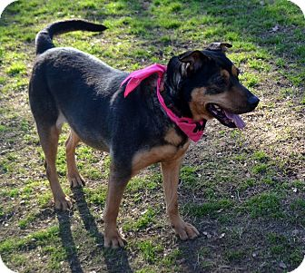 Shepherd (Unknown Type)/Rottweiler Mix Dog for adoption in Burleson, Texas - Cagney
