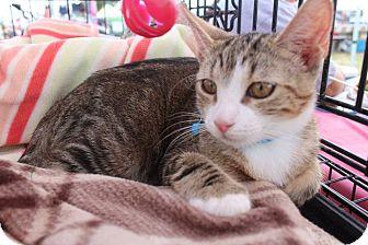 Domestic Shorthair Kitten for adoption in Amityville, New York - Kimba