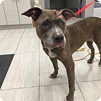 Adopt A Pet :: Sheila - Ardsley, NY