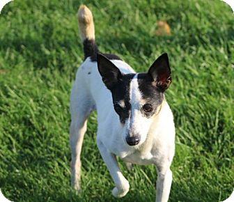 Rat Terrier Dog for adoption in Liberty Center, Ohio - Suzie Q